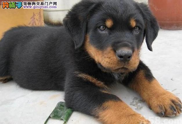 神犬忠实护主的罗威纳幼犬出售