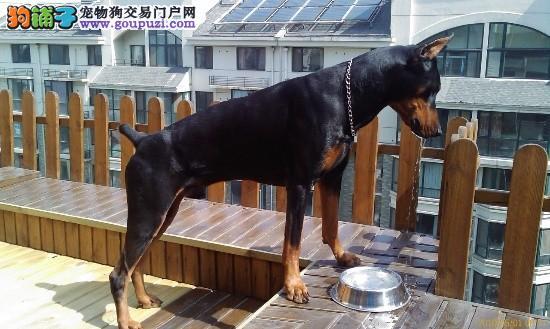 出售纯种健康的上海杜宾犬幼犬微信咨询看狗狗照片