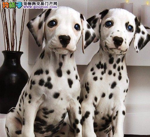 纯种斑点狗出售健康担保,签署协议,1