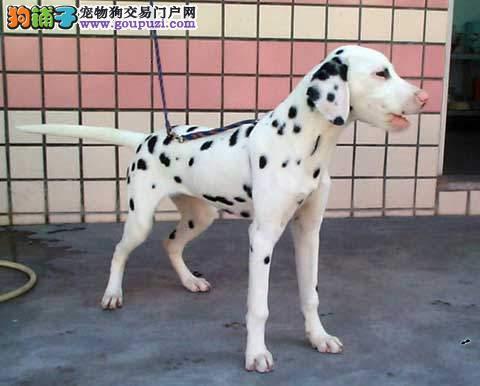 斑点狗找新家,血统纯正包品质,当天付款包邮