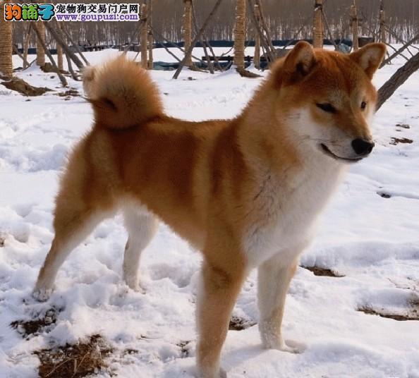 优质柴犬幼犬 日本柴犬 防疫已做西巴犬临夏州售