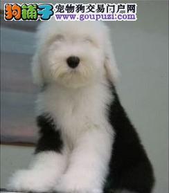 全白头健康活泼可爱古牧幼犬出售品质保证