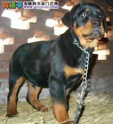 打造完美品牌出售最高品质罗威那》售后签协议优乐犬业