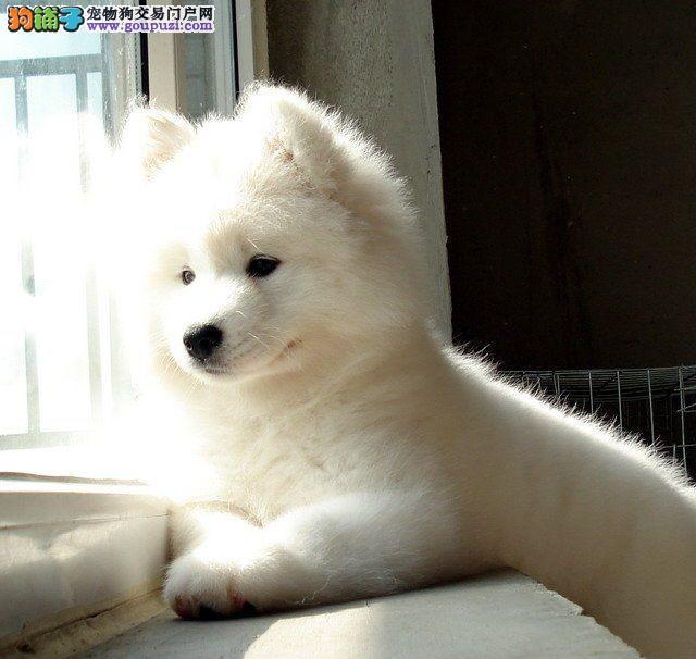 广州正规犬舍出售萨摩耶宝宝 澳版纯正血统 放心选购