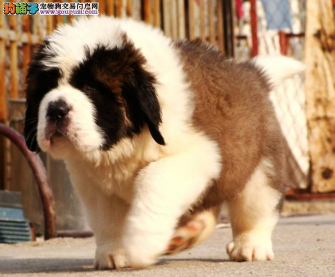 南宁圣伯纳犬价格可爱的圣伯纳忠于主人是家庭犬好选择