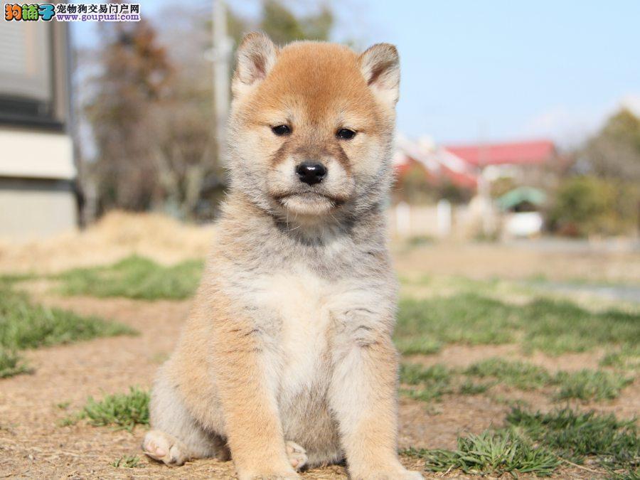 赛级品相武汉柴犬幼犬低价出售价格美丽非诚勿扰