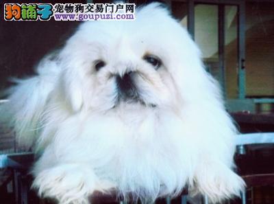 国宝宠物级别宠物京巴犬纯种幼犬哪里有卖中