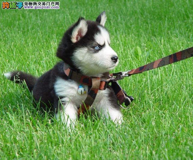 出售纯种哈士奇 哈士奇幼犬 终身质保