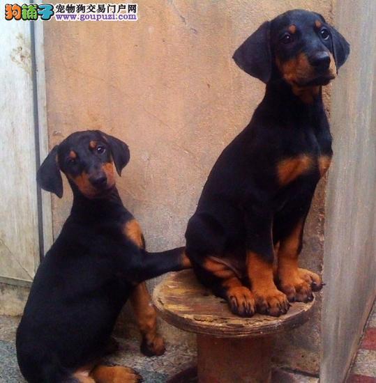 德系杜宾高品质纯种杜宾犬幼犬哪里有卖健康质保可送货签协