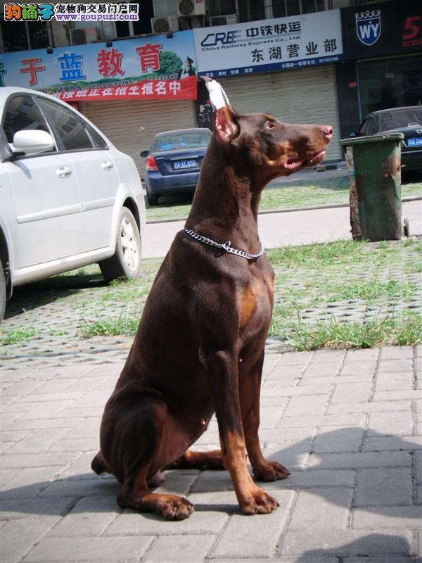 多种颜色的赛级杜宾犬幼犬寻找主人赠送全套宠物用品