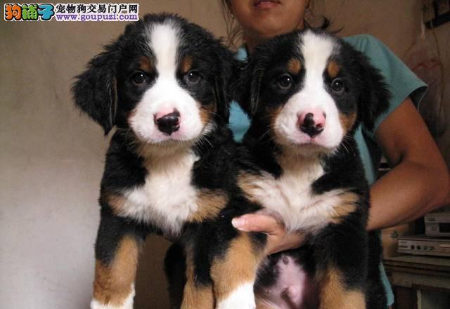 沈阳精品高品质伯恩山幼犬热卖中国际血统证书
