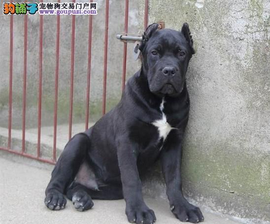 出售纯种卡斯罗幼犬 多只可选 健康保障