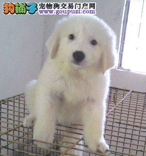专业繁殖基地常年出售纯种健康的大白熊幼犬多条1