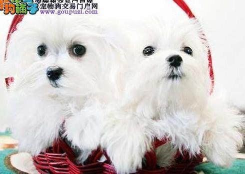 雪白漂亮的马尔济斯犬再找宠它的新主人