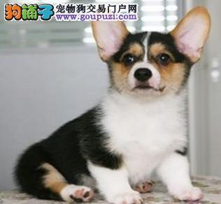 哈尔滨 哪里有柯基犬出售柯基价格是多少3