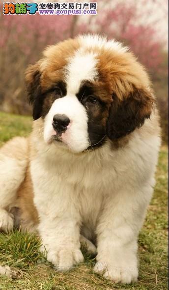 出售纯种圣伯纳幼犬保证健康3