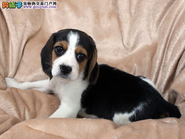 长沙哪里有宠物店比格犬多少钱