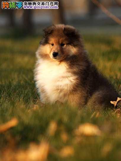 苏格兰牧羊犬哪里有卖、广州犬业出售纯种苏牧4