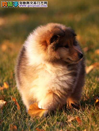 重庆精品三色苏格兰牧羊犬幼犬 健康包养活 完美售后