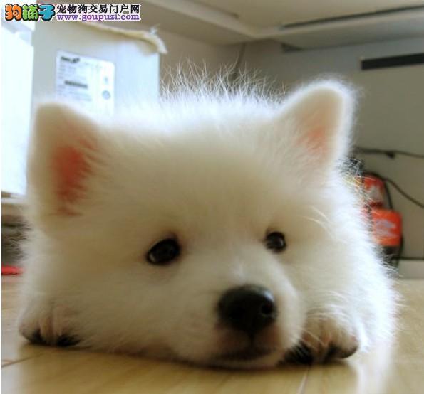 出售极品银狐犬幼犬完美品相以品质惊世人