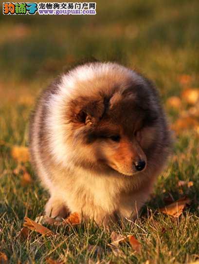 繁殖毛量好血统纯赛级苏格兰幼犬保健康品相好