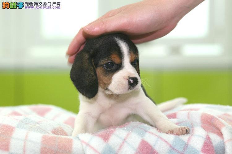 南宁纯种高品质比格犬出售 漂亮可爱 公母多只欢迎选购