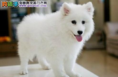关于银狐犬的健康饮食管理5
