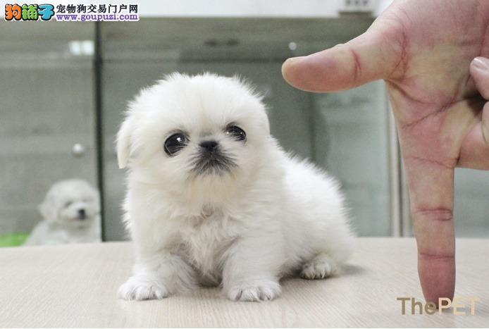 CKU认证犬舍 专业出售极品 京巴幼犬全国质保全国送货