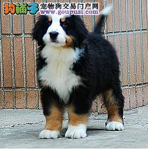 赛级伯恩山幼犬,实物拍摄直接视频,提供养护指导