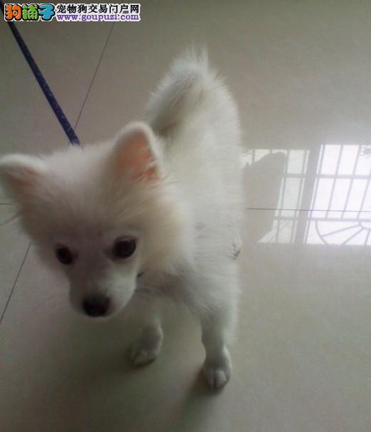 莆田出售极品银狐犬幼犬完美品相保障品质售后