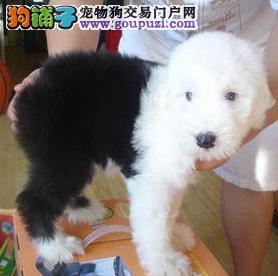广州纯种赛古代牧羊犬签协议保健康可看父母可送古牧