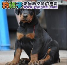 武汉健康纯种杜宾犬已立耳 购买有保证带血统证书包送