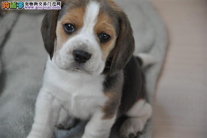 纯家养比格犬出售 保健康 签订协议 终身质保 可退换2