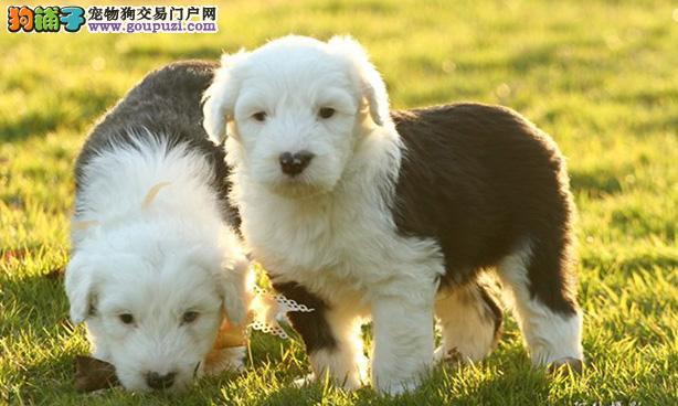 上海售纯种古代牧羊犬 古牧犬公母都有多疫苗驱虫已做