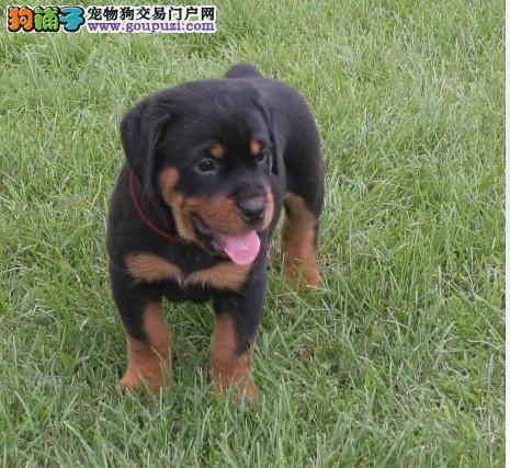 纯正健康的罗威纳幼犬出售
