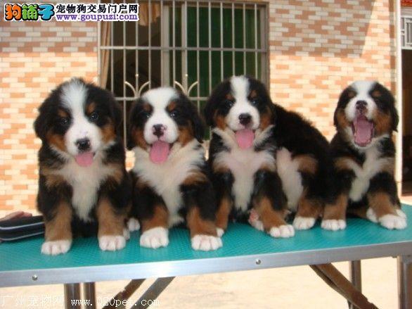 吉安市出售伯恩山 公母都有 可视频看狗 可上门挑选
