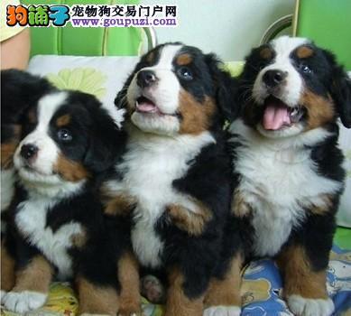 三色犬伯恩山犬出售 疫苗齐全全国发货 包纯种健康