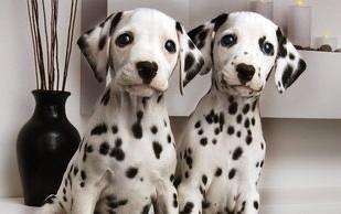 石家庄纯种犬繁殖基地售高品质斑点狗 签合同售后完善