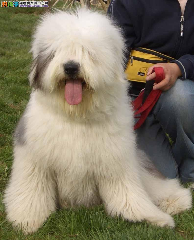 白头通背英国古牧犬赛级血统高品质 台州正规基地出售