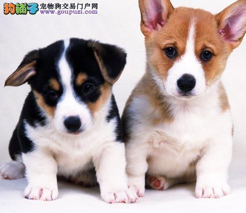 北京出售纯种短腿柯基犬健康品质保证柯基幼犬签协议