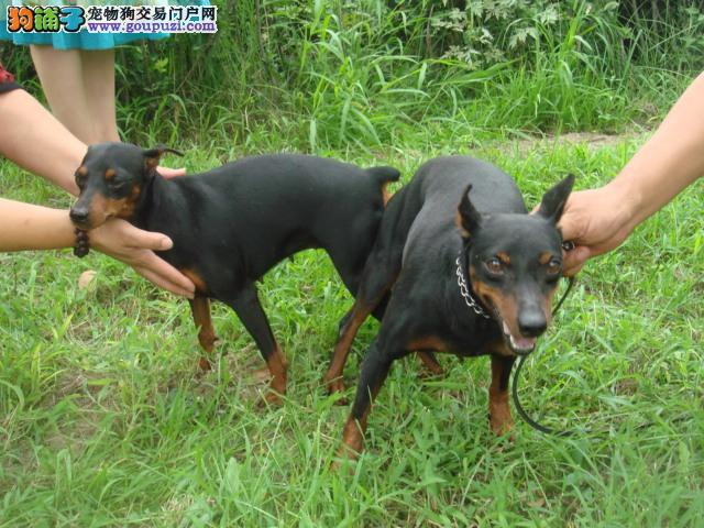 CKU犬舍认证贵阳出售纯种杜宾犬贵阳周边免费送货