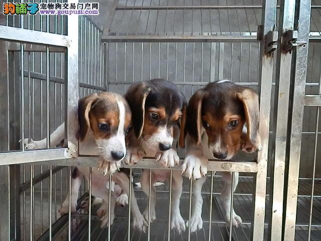 江苏狗场长期直销高品质比格(米格鲁)犬 健康有保障
