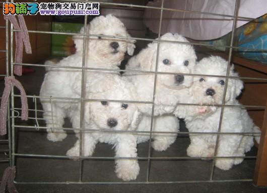江苏狗场长期直销高品质比熊犬 品质健康有保障