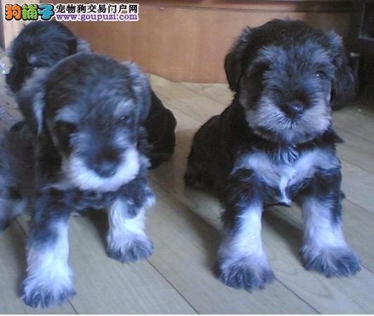 上海奉贤哪里有纯种雪纳瑞卖 欢迎来我狗场挑选
