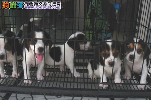 上海狗场繁殖培育 直销比格犬 包纯保健康