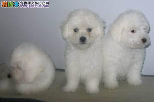 上海奉贤哪里有纯种棉花糖比熊卖 欢迎来我狗场挑选