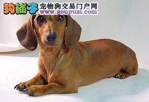 品质健康有保障腊肠犬热卖中可直接视频挑选