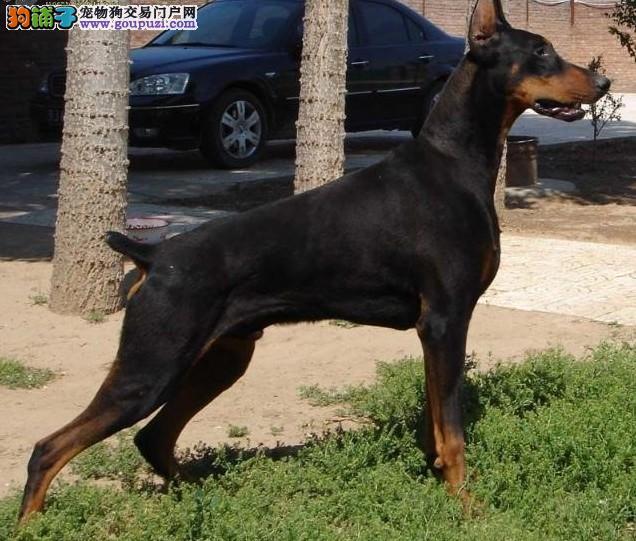 权威机构认证犬舍 专业培育杜宾犬幼犬微信咨询看狗狗照片