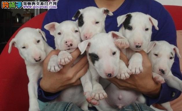 商洛正规犬舍高品质牛头梗带证书微信咨询看狗狗照片