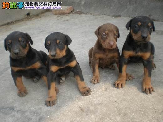 青岛市出售杜宾犬幼犬 疫苗齐全 协议质保 可上门选购3